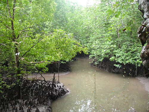 mangroveen.jpg