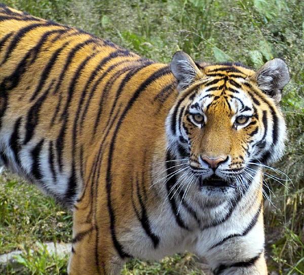 tiger-tiger-photo.jpg