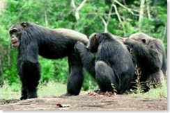 Chimps grooming group