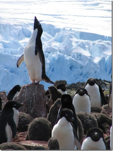 Adelie penguins are barometers of climate change